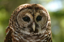 Florida Scenic Highway - Barred Owl