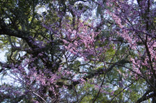 Florida Scenic Highway - Red Bud